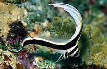 Equetus punctatus juvenile.jpg