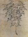 Erebinthos 119r Dioscoride Vienne.png