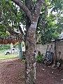 Ericales - Manilkara zapota - 1.jpg
