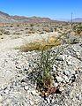 Eriogonum hookeri kz2.jpg