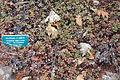 Eriogonum umbellatum - Regional Parks Botanic Garden, Berkeley, CA - DSC04266.JPG