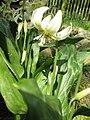Erythronium 'White Beauty'03.jpg