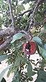 Escarbats menjant pruna.jpg