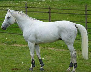 Anglo-Arabian - A gray Anglo-Arabian