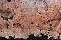 Etheirodon fimbriatum 57233145.jpg