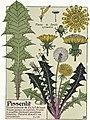 Etude de la plante - p.143 fig.192 - Pissenlit.jpg