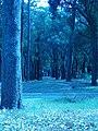 Eucaliptus y Pinos Parque F. D. Roosvelt.JPG