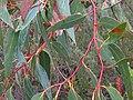 Eucalyptus haemastoma E.haemastoma IMG 4580 (5771510526).jpg