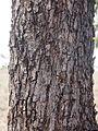 Eucalyptus orgadophila bark.jpg
