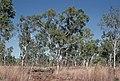 Eucalyptus tectifica.jpg