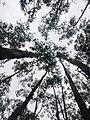 Eucalyptus trees, Bih.jpg