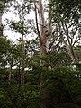 Eucalyptus viminalis Labill. (AM AK300701-1).jpg