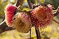 Eucalyptus youngiana KP gnangarra-12.jpg