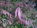 Euonymus alatus 2015-10-03 5840.jpg
