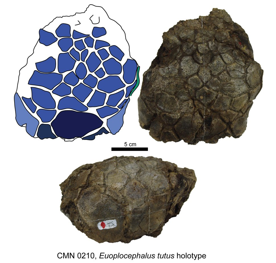 Euoplocephalus tutus