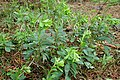 Euphorbia amygdaloides kz06.jpg