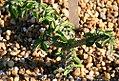 Euphorbia beharensis 0zz.jpg