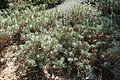 Euphorbia characias subsp. wulfenii - Leaning Pine Arboretum - DSC05723.JPG