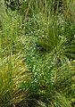 Euphorbia corollata kz6.jpg