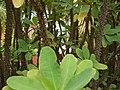 Euphorbia milii var. splendens, closeup.jpg