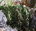 Euphorbia resinifera4 ies.jpg