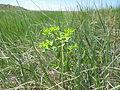 Euphorbia spathulata (7495150216).jpg