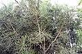 Euphorbia tirucalli 17zz.jpg