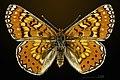 Euphydryas desfontainii MHNT CUT 2013 3 25 Sournia Dorsal.jpg