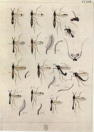 Johann Wilhelm Meigen - Image: Europäischen Zweiflügeligen 1790Taf CLXVII