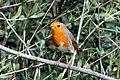 European Robin - Flickr - GregTheBusker.jpg