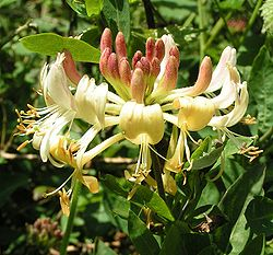 European honeysuckle 800.jpg