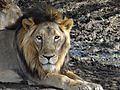 Face still of male lion (Panthera leo) 2015-06-05.jpg