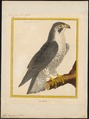 Falco peregrinus - 1700-1880 - Print - Iconographia Zoologica - Special Collections University of Amsterdam - UBA01 IZ18200100.tif
