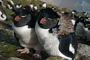 Falkland Islands Penguins 81.jpg