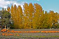Fall - Pumpkins - Kelowna - panoramio.jpg