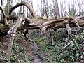Fallen Tree Used As Footpath Marker - geograph.org.uk - 780019.jpg