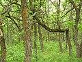 Fallen tree in Birds Hill Provincial Park, Manitoba.jpg