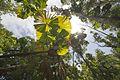 Fan palms at Wyvuri (11559837266).jpg