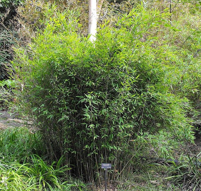 Schirm-Bambus