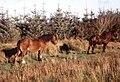 Farm horses at Penygarn Farm - geograph.org.uk - 1242721.jpg