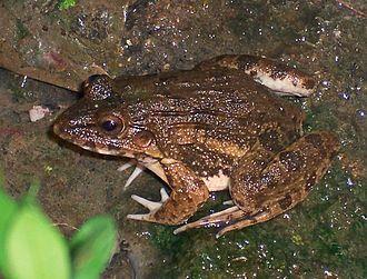 Crab-eating frog - Fejervarya cancrivora from Bogor, West Java