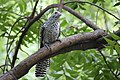 Female Asian Koel at Chennai.jpg