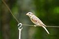 Female Grosbeak (Pheucticus ludovicianus).jpg
