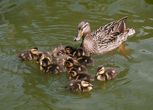 evolution - Why ducklings are yellow? - Biology Stack Exchange
