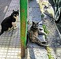 Feral cats Tirone Messina 17-5-21.jpg
