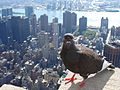 Feral pigeon -Empire State Building, New York City, USA-31Aug2008c.jpg