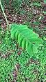 Fern vascular plant.jpg