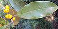 Ficus Microcarpa 08.JPG