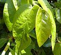 Ficus pumila, lenteloof, a, Pretoria.jpg