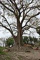 Ficus religiosa - Lalbagh - Murshidabad 2017-03-28 5974.JPG